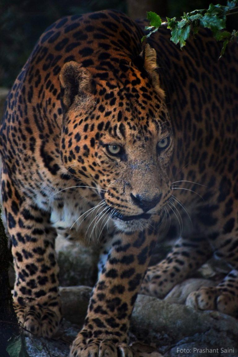 Jaguar_PrashantSaini_klein2